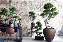 &Ficus Ginseng
