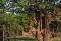 Sagradas árvores! / Viva, mas deixe-as viver!