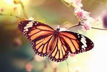 Farfalle 蝶 / Papillons, Butterflies, Mariposas, Πεταλούδες, Borboletas, Fjärilar, Бабочки, Schmetterlinge, 蝴蝶, Vlinders, الفراشات,