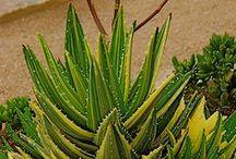 Aloe / Plant Catalog