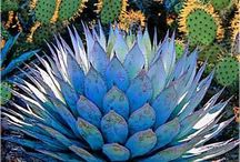 Cactus, Spinose e Succulente / Piante grasse