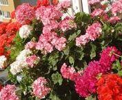 Пеларгония (герань) - бабушкин цветок