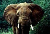 Elephants / by Dorothy Kalthoff