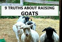 Animals Goats / How to use goats as blackberry eaters