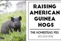 Animals Pigs / American guinea hog pasture pigs