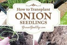 Cool Onions / How to grow Ornion