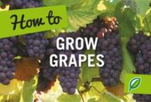 Plant Grapes / How to grow grapes pins are welcome. If you pin to this board, we may move it. It will be moved to the specific subject of your pin or deleted if it is a duplicate or advertising. This board is a group board on which the community is welcome to pin. You can request the specific boards we have moved your pin and we will send it to you and we both can pin according to our common interest.  Only family friendly pins & no political, pornography, or religion pins.