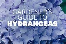 Flower Hydrangea / How to take of Hydrangea