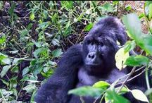 Uganda Adventures / Adventure travel stories from Uganda. Mountain gorillas, Nile cruises, Pygmy tribes, and everything you'd need to know about traveling in Uganda.