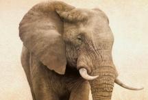 Elephants / Big Beautiful Elephants
