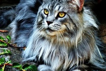 Maine Coon Cats