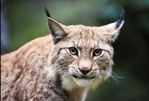 Lynx / The lynx (Lynx) a gender of the family of the felines belonging to the order of the predators.  The Eurasian lynx (Lynx lynx) Europe's largest feline.