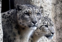 Snow leopard / The snow leopard (Uncia uncia), also known as irbisz Carnivores (Carnivora) and to the order of ounces of cats (Felidae) family. In Central Asia's upland areas, snow leopard honos. A The Highest living feline. In the summer moves up to around 3500-6000 m high plains and rocky mountains, winter 2000 m moves around it.