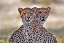 Cheetah / The cheetah (Acinonyx jubatus), the only living species of the feline family genus Acinonyx. Agility superiority advantage kills prey. The fastest land mammal in the short term can reach a speed of 110-120 km / h as well.