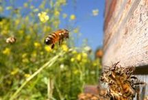 Honey Bees / Anything related to making honey and cool facts about bees.