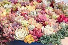 Zen Succulent / Suculentas / Terrariums