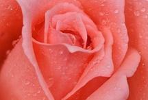 roses / by Jelena