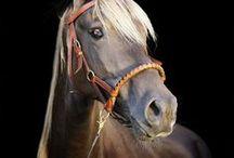 atlar  HORSE