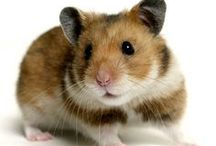 Hamster / Hamster @ Pinterest