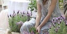 Lavender / _