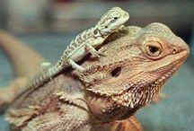 Caméléon Jecko Pogona et autres reptiles