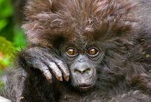 Gorillas / Like