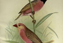"Foreign Finches in Captivity / Antique Chromolithograph Published 1899, for ""Foreign Finches in Captivity"" by Arthur G. Butler. Illustrated by F. W. Frohawk"