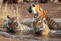 India Wildlife Safari / Safari India, tiger safari India packages from trusted Indian tour operator & agent. Get great discounts on Wildlife Safari India, elephant safari India, wildlife sanctuary India much more.
