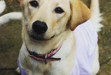 Labrador, Pet, lindos e fofos. / Jujuba #lab #labrador