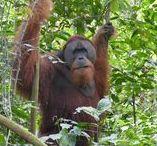 Sumatra / Reise Report / Insel in Indonesien, Regenwald und Orang Utans, der Lake Toba