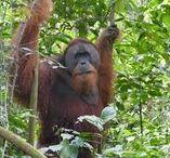 Bukit Lawang / Reise Report / Regenwald, Affen, Vögel, Reptilien und Orang Utans, Leuser National Park