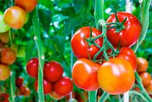 Tomatoes: Tips & Secrets to growing yummy tomatoes.