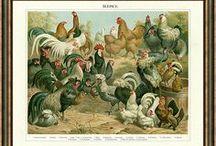 Slepice, drůbež, holubi / Nádherné obrazy-kresby slepic, další drůbeže a holubů. Kvalitní reprodukce starých litografií starých 100 až 150 let.