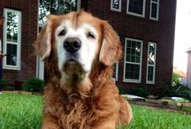 Golden Retrievers... the only dog I will EVER own / Love of my furry life:) lost this beautiful boy 2/28/2015, my heart is broken. Got a new rescue girl 5/9/2015,Missy, a 10 year old sweet girl that no one wanted 'cause she's a senior. / by Tammy McCartney Largent
