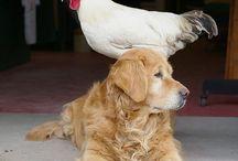 chicken / We  luv chicken / by Tammy McCartney Largent