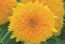Cut flower yellow