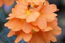 Cut flower orange