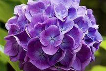 Cut flower purple