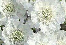 Cut flower white
