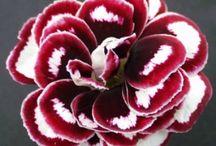 Cut flower variagata
