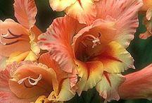 Cut flower peach