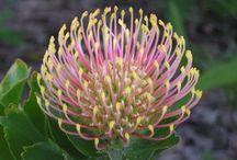 Flower from Australia