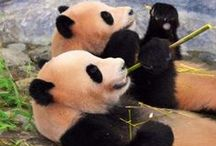 my favourite panda