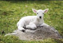 ♡ ewe & lambs / HE IS THE LAMB & THE SHEPHERD --- IL EST L'AGNEAU & LE BERGER--- tags: moutons, sheep, brebis, ewe, agneaux, lambs , troupeau, flock / by birdyann