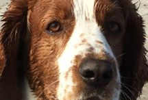 Milton my lovely #welsh springer spaniel / Milton my lovely #welsh springer spaniel from #Lisalyckens Billy The Kid, his Mother is (Lisa) Dimmös Lucky Face, Lisalyckens kennel, and his father is Clussexx Step On To it Dons.
