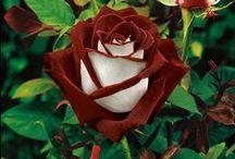 Розы. Rosier