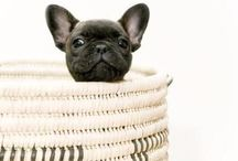French Bulldogs <3 / I love frenchies & one day I will be the owner of one....one day....