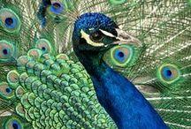 pawie  peacocks / pawie  peacocks