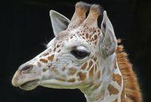żyrafy giraffe / żyrafy giraffe