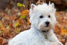 Westies / Dedication to Angus our newest member of our family and to Max our first Westie